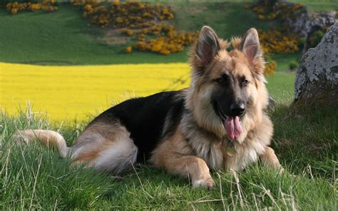 Shepherd Shedding by King German Shepherd Puppies For Sale With A Price List