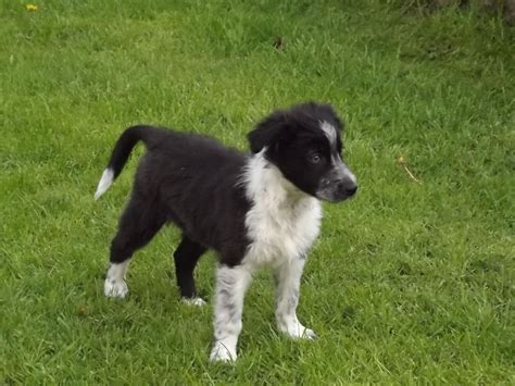 black and white border collie puppy black white border collie puppy llanwrda carmarthenshire pets4homes