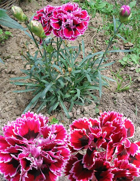 facts about carnations carnation facts