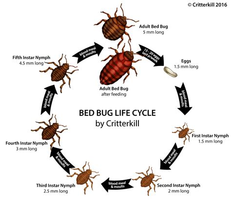 bed bugs life cycle how to get rid of bed bugs critterkill