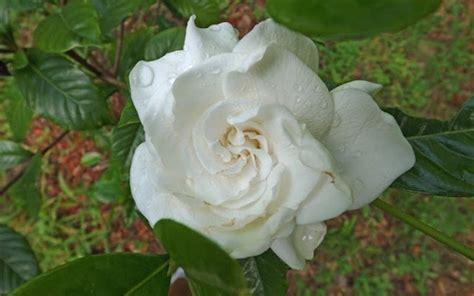 Gardenia Aimee Leaves On Aimee Gardenia Apps Directories