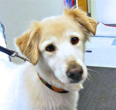 golden retriever hound mix jose clatsop animal assistance