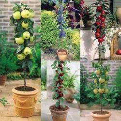 miniature fruit trees for sale 25 best ideas about miniature fruit trees on