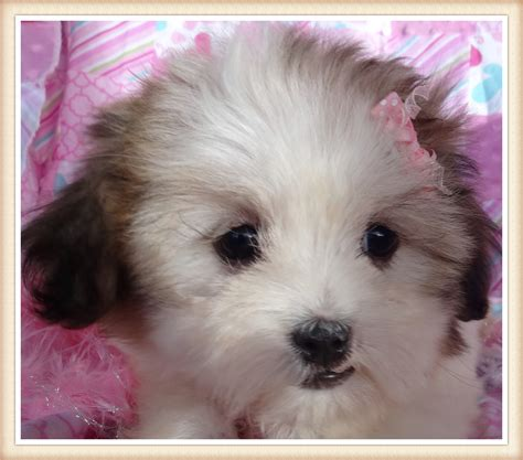 can a vaccinated get parvo vaccinations holistically raised puppies