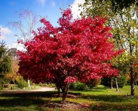 osakazuki japanese maple for sale online the tree center