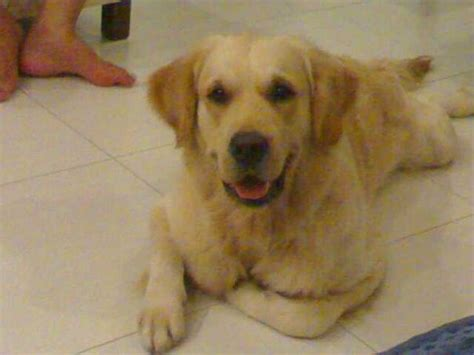 missing golden retriever you seen this missing golden retriever lost at wellington circle