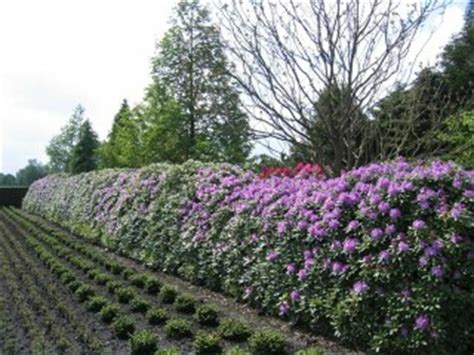rhododendron hecke rhododendron hybride cunningham s white carstens