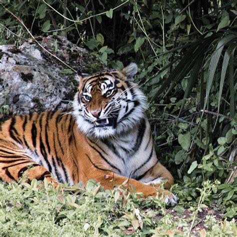 Dormir Avec Les Tigres 1257 by Dormir Avec Les Tigres Dormir Avec Les Tigres Et Les