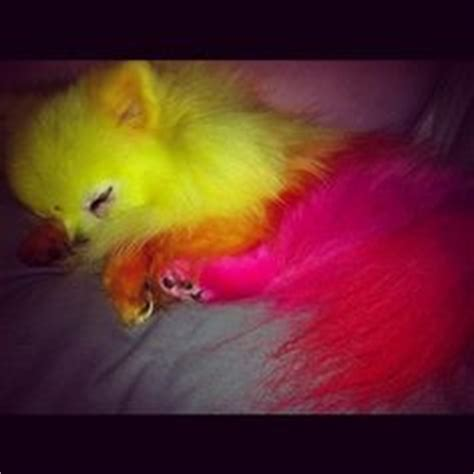 jeffree dogs puppies i on pomeranians pomsky puppies and boo