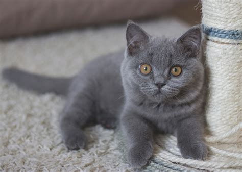 gray kitten pictures www pixshark com images galleries with a bite