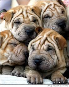 mini walrus puppies mini walrus puppies picture image by tag keywordpictures breeds picture