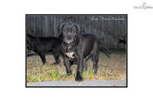 american pit bull terrier puppy for sale near austin