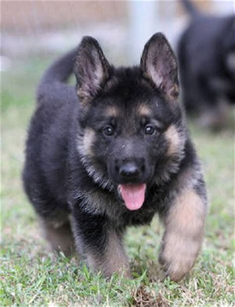 german shepherd puppies nc working german shepherd puppies nc photo
