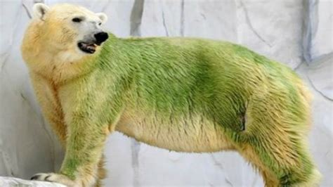 what color is polar fur polar turns green