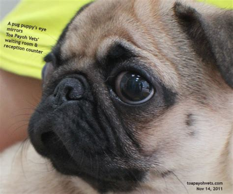 kennel cough in pugs veterinary medicine surgery singapore toa payoh vets dogs cats rabbits guinea