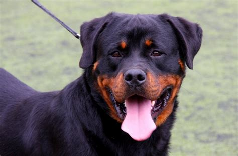 dogs similar to rottweiler dogs their secret lives the linc