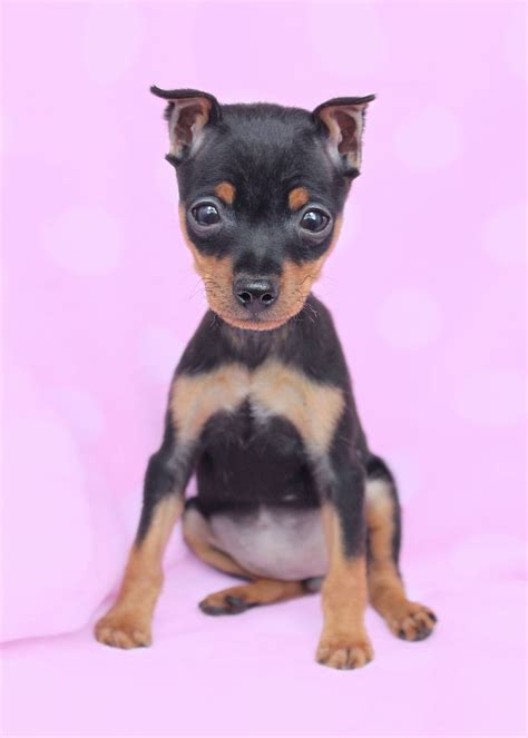 yorkie miniature pinscher puppies miniature pinscher min pin puppies for sale teacups puppies boutique