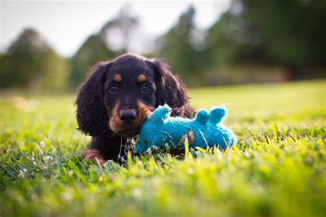 Gordon Setter Dog Food | gordon setter breed information pet 365