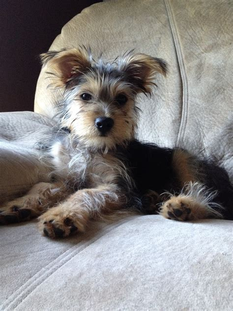 yorkie schnauzer cut snorkie yorkie and schnauzer mix doggies cutest dogs names and the two