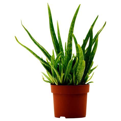 ikea plants aloe vera potted plant aloe 12 cm ikea