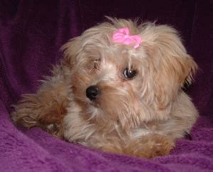 southern comfort maltese rescue southern comfort maltese rescue maggie s story