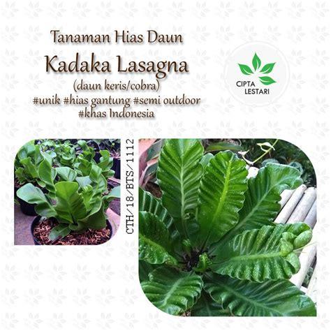 tanaman hias gantung daun merah cat rumah minimalis