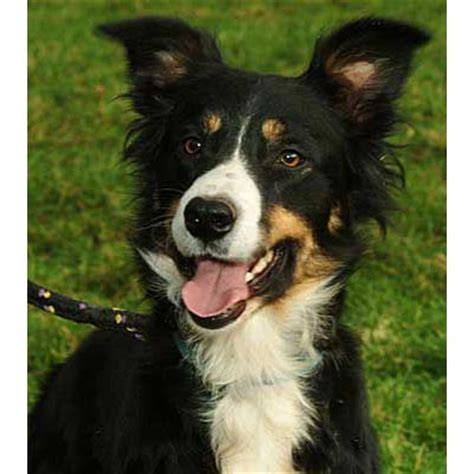tricolor border collie puppy coated tri color mossie of aled owen s roy 200199