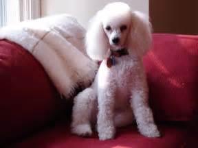 poodle haircuts poodle cut poodle love pinterest