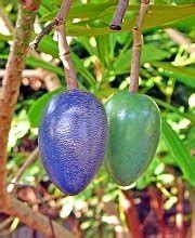 skyrail nature diary cassowary plum