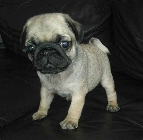 pug puppies for sale liverpool beautiful pugs for sale 4 2 boys liverpool merseyside pets4homes