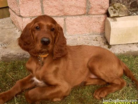 Do Setters Shed by Large Breed Low Shedding Dogs Breeds Picture