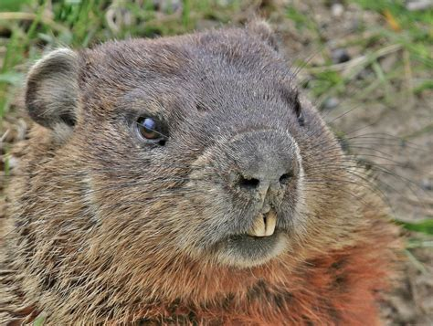 groundhog day s big show did you csu groundhog expert offers fascinating