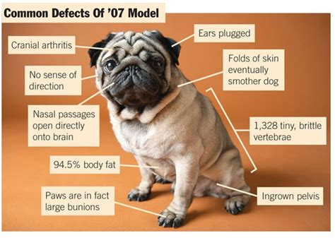 pug owners personality pugs 04 12 12