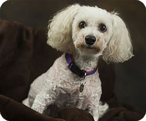 puppies for adoption anchorage anchorage ak poodle miniature meet rosie a for adoption