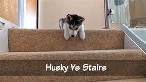 Going Up The Stairs And Going Down The Stairs by White Wolf Cute Husky Puppy Trying To Walk Down The
