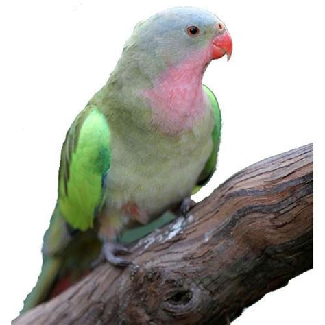 Princess Parrot princess parrot for sale kellyville pets