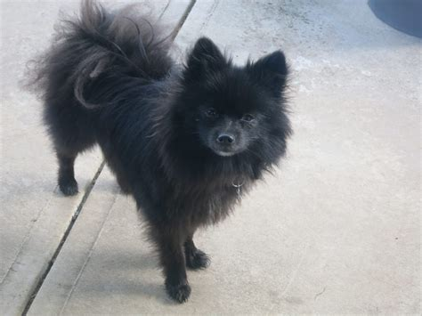 adopt a pomeranian a pommy rescue story quot barry the black pomeranian quot