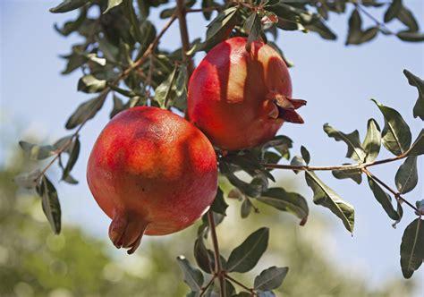 pianta melograno in vaso come coltivare il melograno in giardino o in vaso non