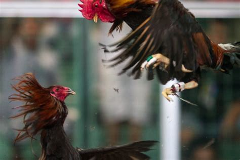 website ayam terpercaya perbandingan ayam bangkok  kampung