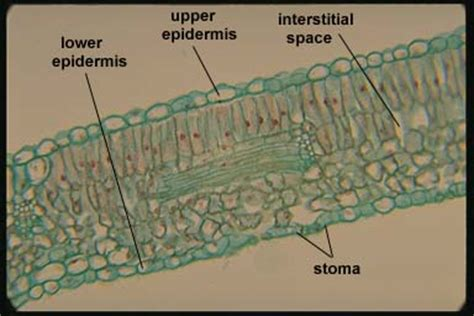 dicot leaf cross section labeled xylem and phloem diagram