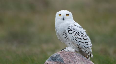 animal you snowy owl