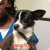 pug rescue maryland chihuahua pug mix for adoption in baltimore maryland paco