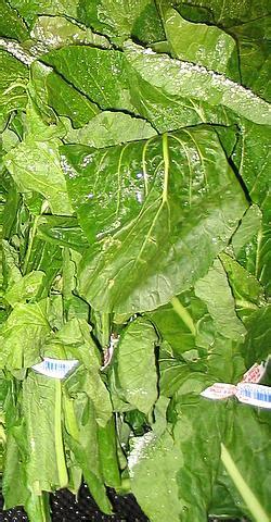 turnip greens wiktionary