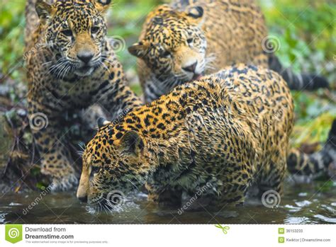 imagenes jaguares selva jaguar en la selva fotos de archivo imagen 36153233