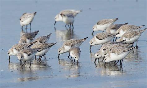 southbound shorebirds on tillamook s sand spits
