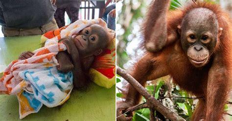 orangutan   shot  poachers  incredible