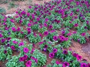 petunia espace jardin