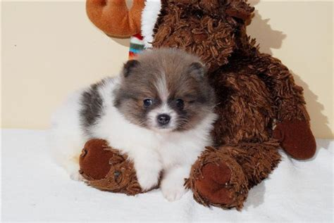 white and brown pomeranian brown and white pomeranian puppy puppies and kittens pinte