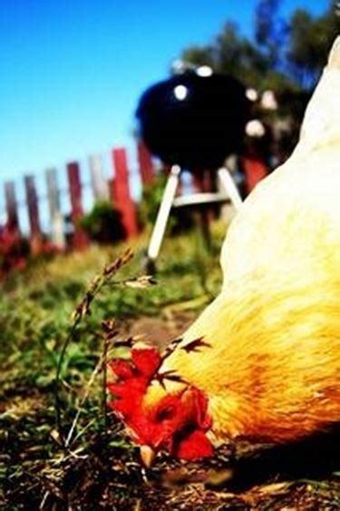 alimentazione polli allevamento polli biologici galline
