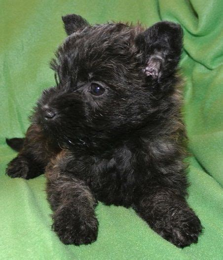 cairn terrier puppies for sale cairn terrier puppies for sale oswestry shropshire